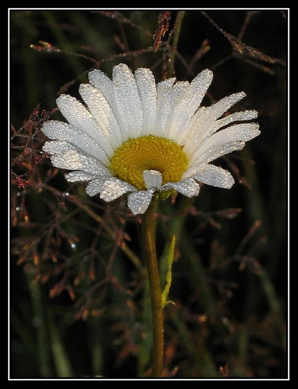 "фото ""Утро. Ромашка"" метки: природа, цветы"