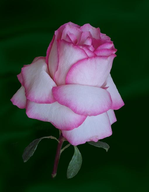 "фото ""Роза для ..."" метки: натюрморт, природа, цветы"