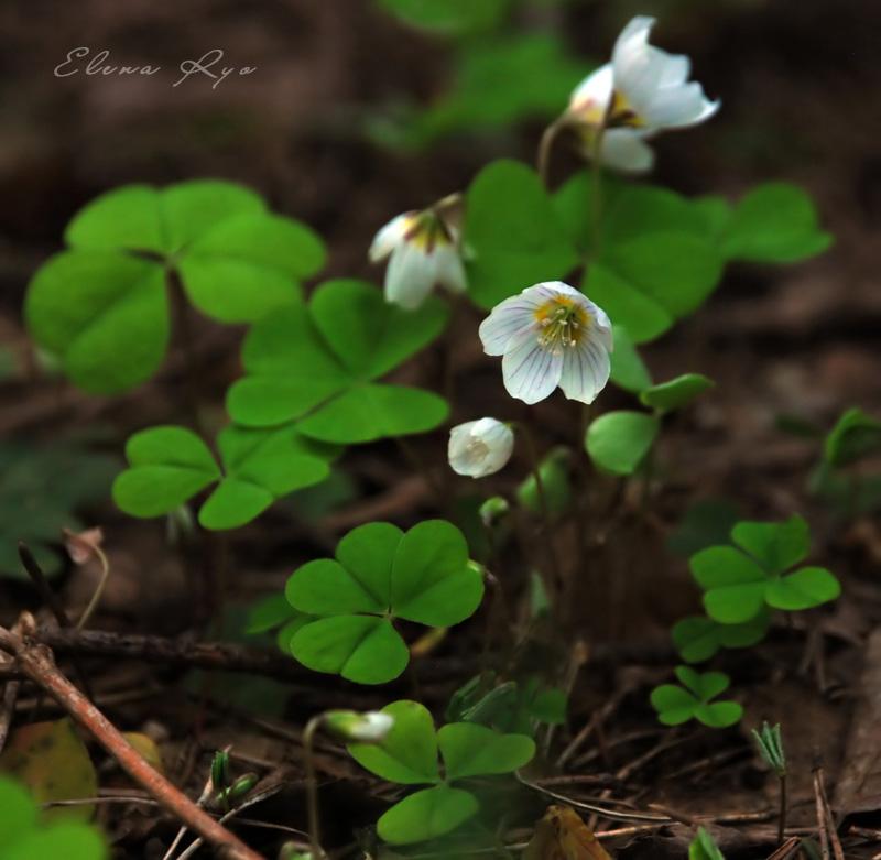 """фото """"Кислица"""" метки: природа, макро и крупный план, цветы"""