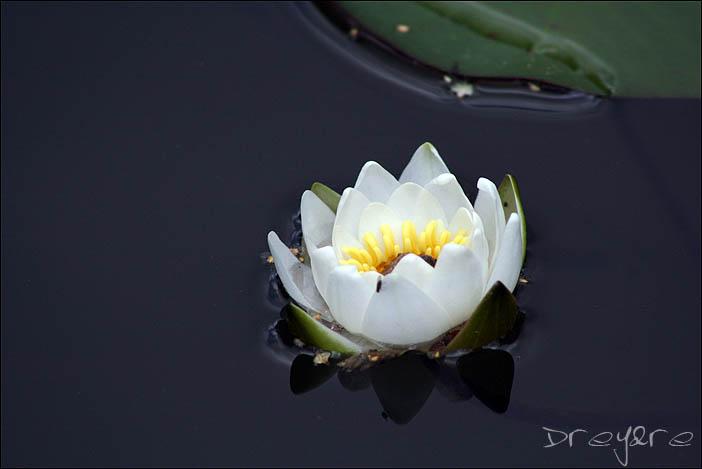 "фото ""лилия 2"" метки: природа, цветы"