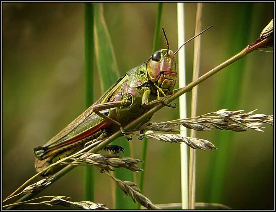 """фото """"Лошадка для рыцаря"""" метки: макро и крупный план, природа, насекомое"""
