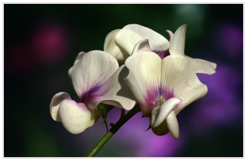 """фото """"Vicia sativa"""" метки: макро и крупный план, природа, цветы"""