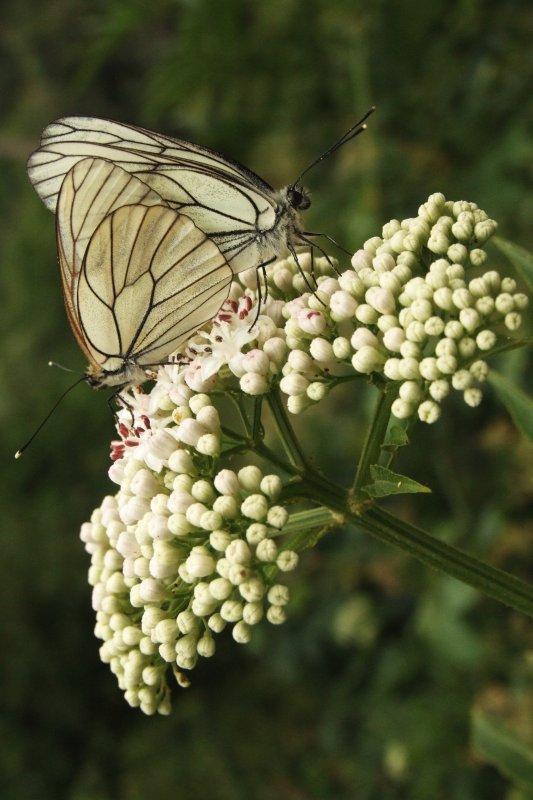 """фото """"butterflies in love"""" метки: природа, макро и крупный план, насекомое"""