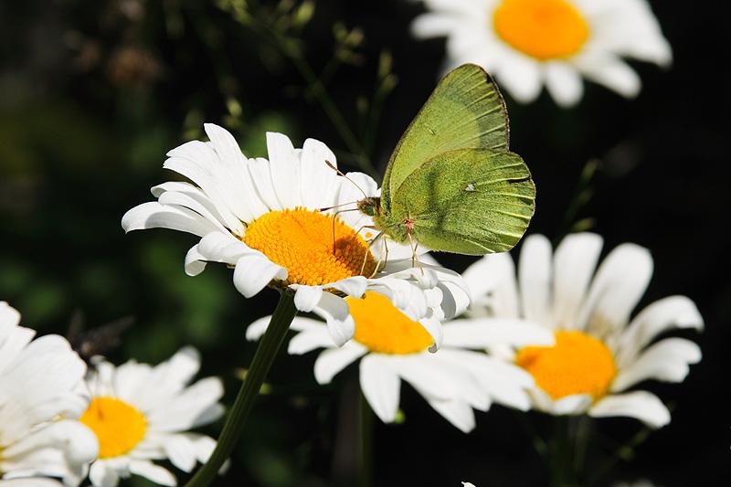 "фото ""бабочка Лимонница"" метки: природа, насекомое"