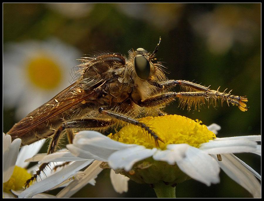 """фото """"Злодей, умывающий руки"""" метки: природа, макро и крупный план, насекомое"""