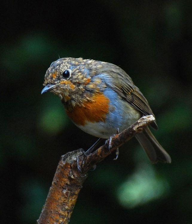 """фото """"Robin"""" метки: природа, дикие животные"""