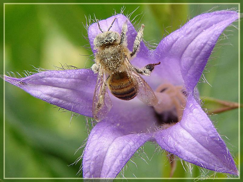 """фото """"Сладкая работа, но пыльная."""" метки: природа, макро и крупный план, насекомое"""