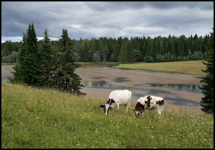 """фото """"Коровка и бычок"""" метки: пейзаж, природа, домашние животные, лето"""