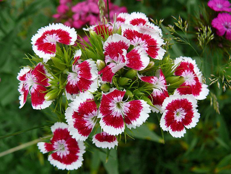 """фото """"Садовый цветок"""" метки: макро и крупный план, природа, цветы"""