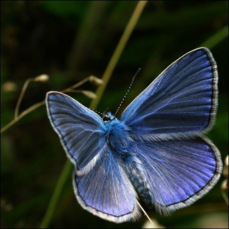 "фото ""Голубянка"" метки: природа, насекомое"