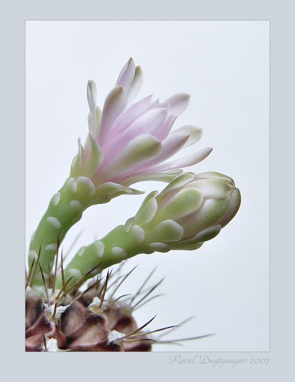 """фото """"* * *"""" метки: макро и крупный план, природа, цветы"""