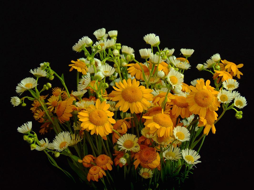 """фото """"Ромашковый"""" метки: природа, цветы"""
