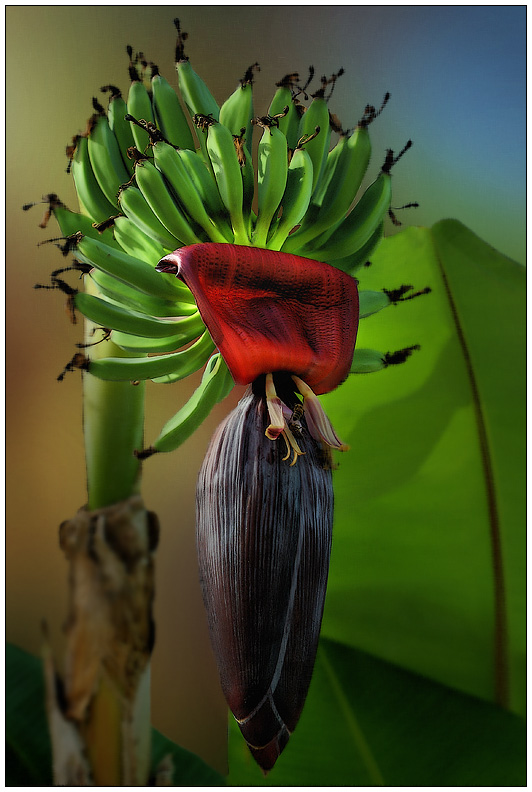 """фото """"Цветок банана"""" метки: природа, цветы"""