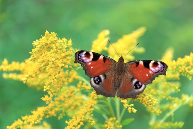 """фото """"бабочка"""" метки: макро и крупный план,"""