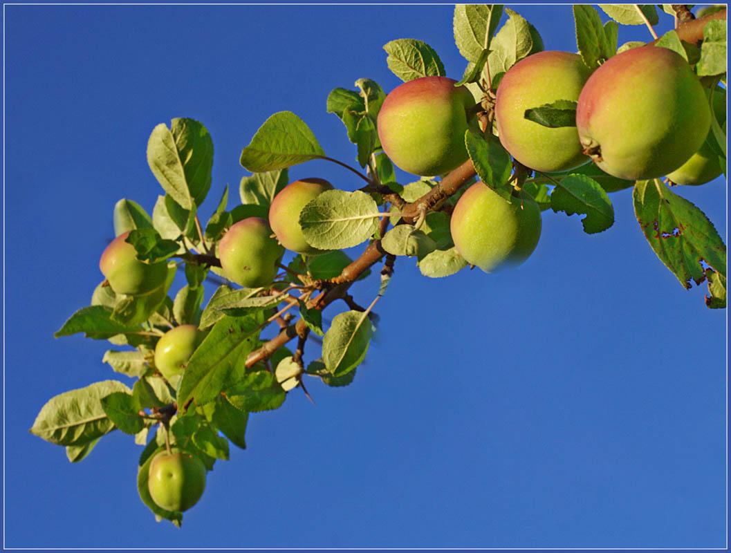 """фото """"Под тяжестью плодов"""" метки: природа, цветы"""