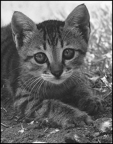 """фото """"Vasechka."""" метки: природа, черно-белые, домашние животные"""