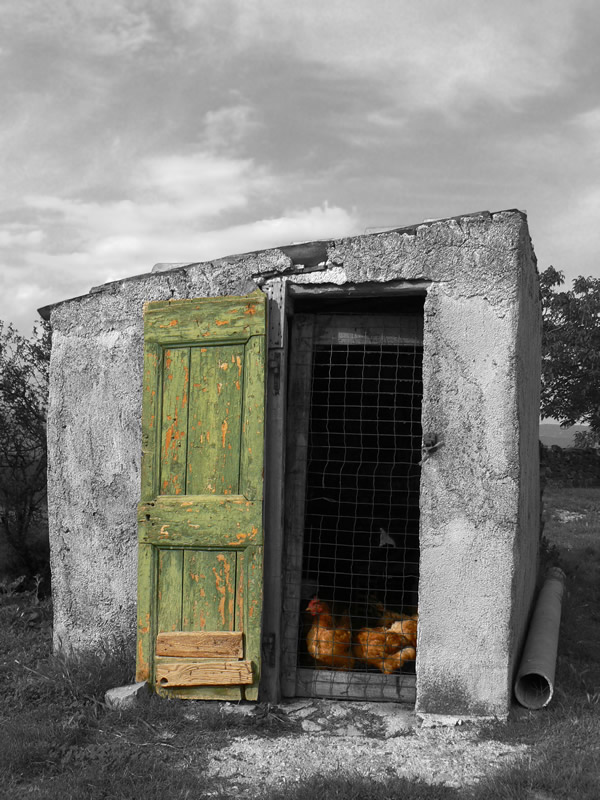 """фото """"Chicken Coup"""" метки: природа, черно-белые, домашние животные"""
