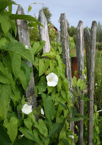 "фото ""Забор..."" метки: природа, цветы"