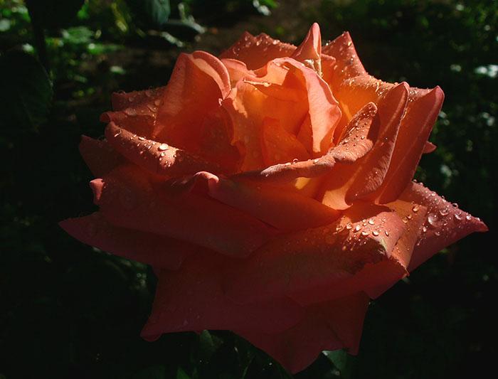 """фото """"In the ray of sun"""" метки: природа, цветы"""