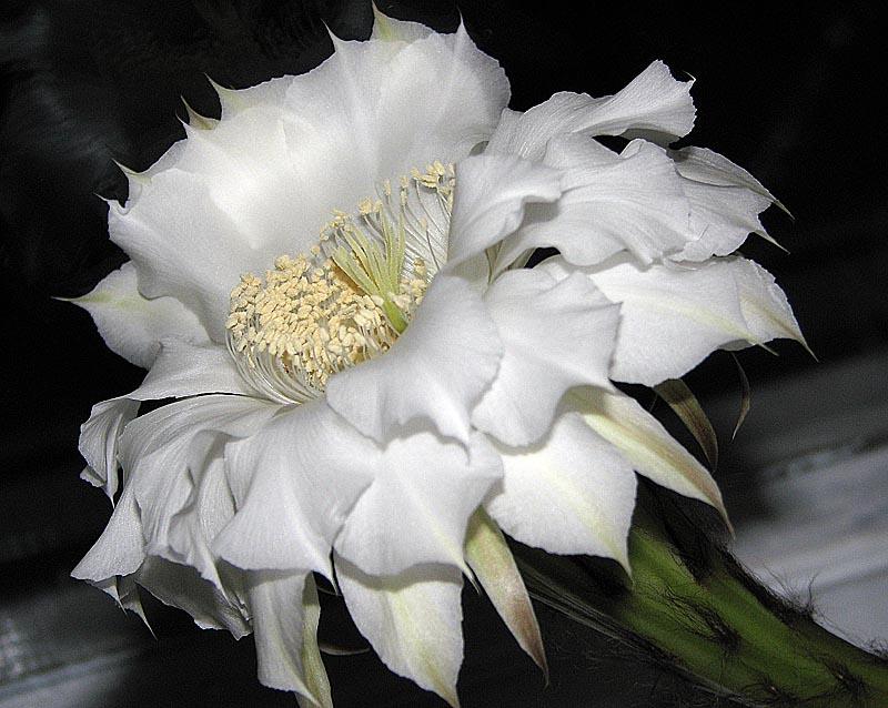 """фото """"Кактуса цвет"""" метки: природа, макро и крупный план, цветы"""