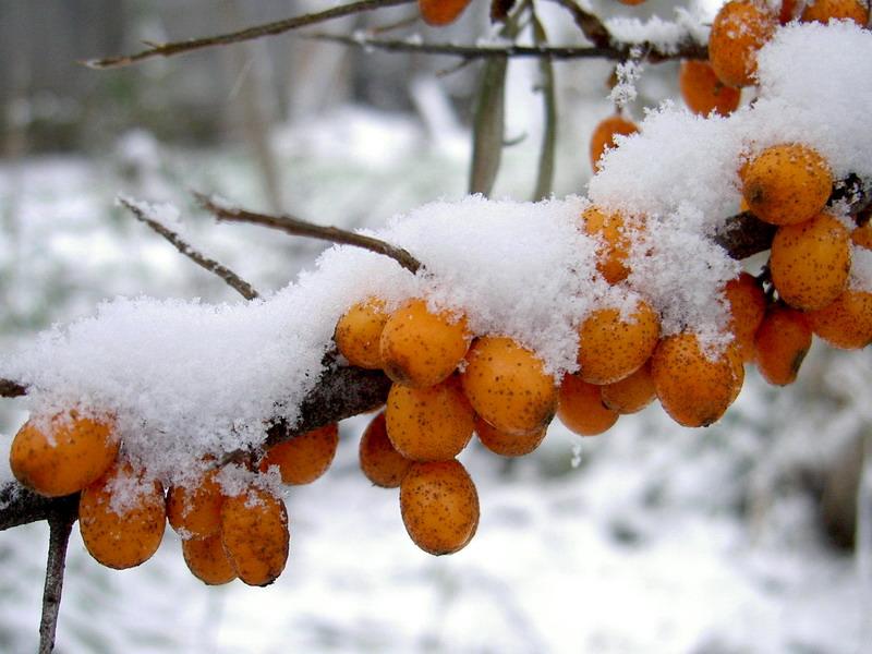 "фото ""sea-buckthorn in winter"" метки: природа, спорт, цветы"