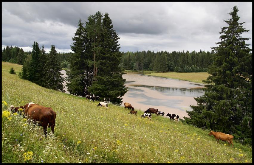 "фото ""Пейзаж с коровками"" метки: пейзаж, лето"