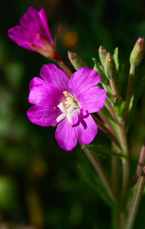 """фото """"Розовое настроение"""" метки: природа, макро и крупный план, цветы"""