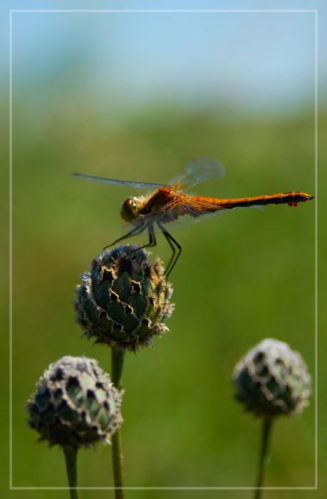"""фото """"Стрекоза"""" метки: природа, насекомое, цветы"""