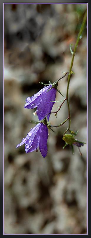 """фото """"Campanula"""" метки: природа, макро и крупный план, цветы"""