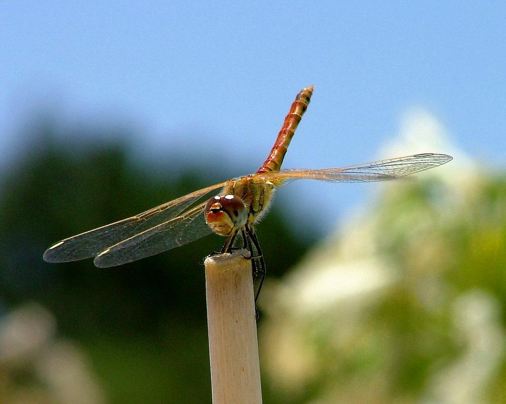 """фото """"Dragonfly"""" метки: природа, макро и крупный план, насекомое"""