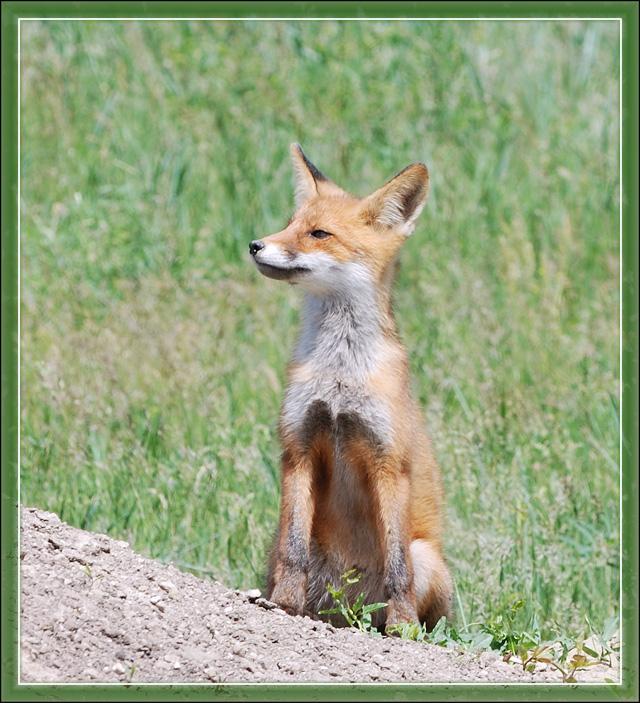 "photo ""Little fox"" tags: nature, wild animals"