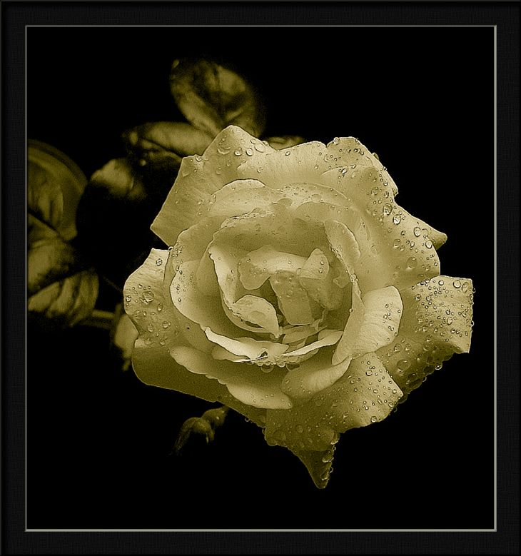"photo ""sepia rose"" tags: nature, flowers"