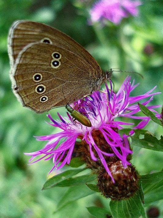 """фото """"А ну с моего цветка! Укушу!!!"""" метки: природа, макро и крупный план, насекомое"""