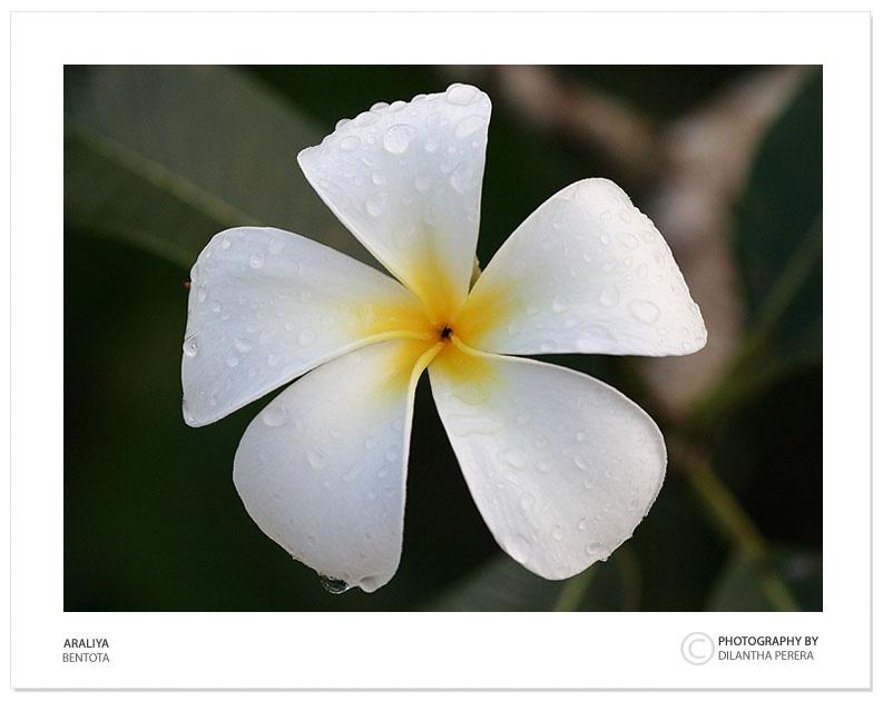 "photo ""Araliya Flower"" tags: nature, travel, Asia, flowers"