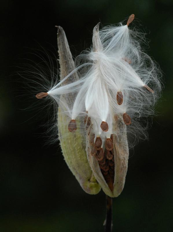 """фото """"Milkweed#2"""" метки: природа, цветы"""