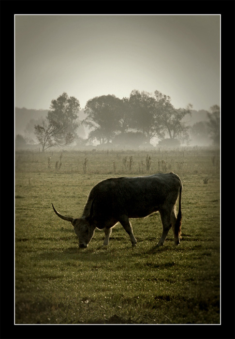 "photo ""Cattle"" tags: landscape,"