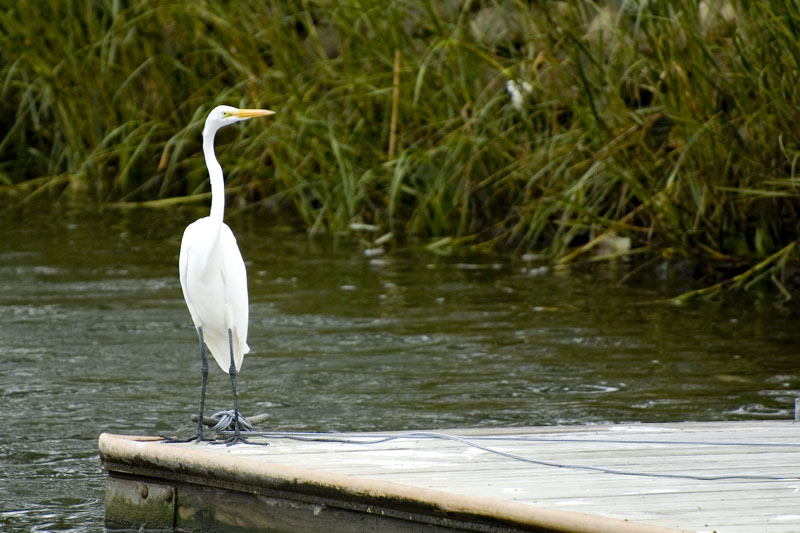 "photo ""Snowy Egret"" tags: nature, travel, North America, wild animals"