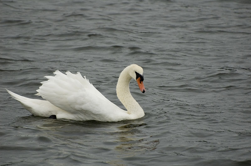 "photo ""Swan"" tags: nature, travel, North America, wild animals"