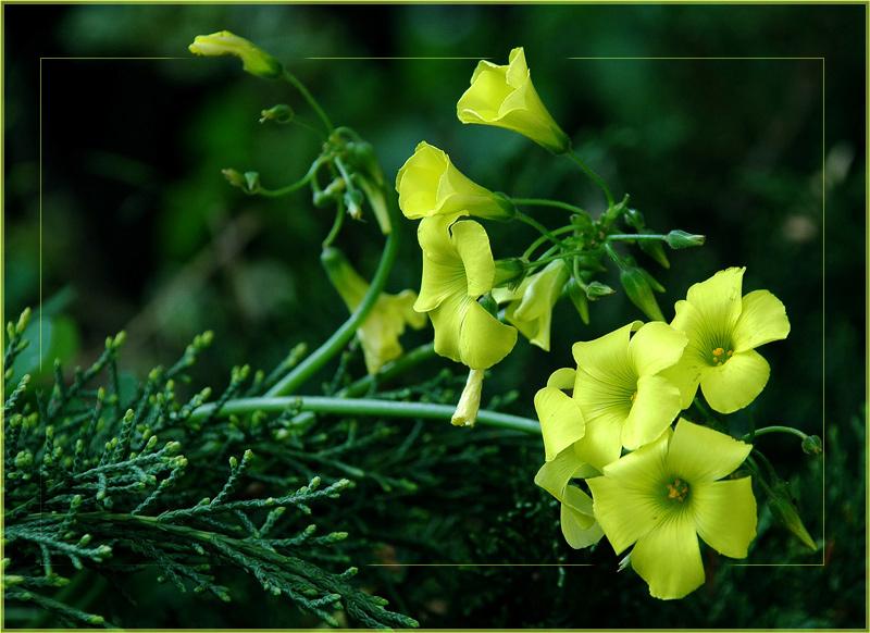 """фото """"Желтые нотки. Каприс."""" метки: природа, цветы"""