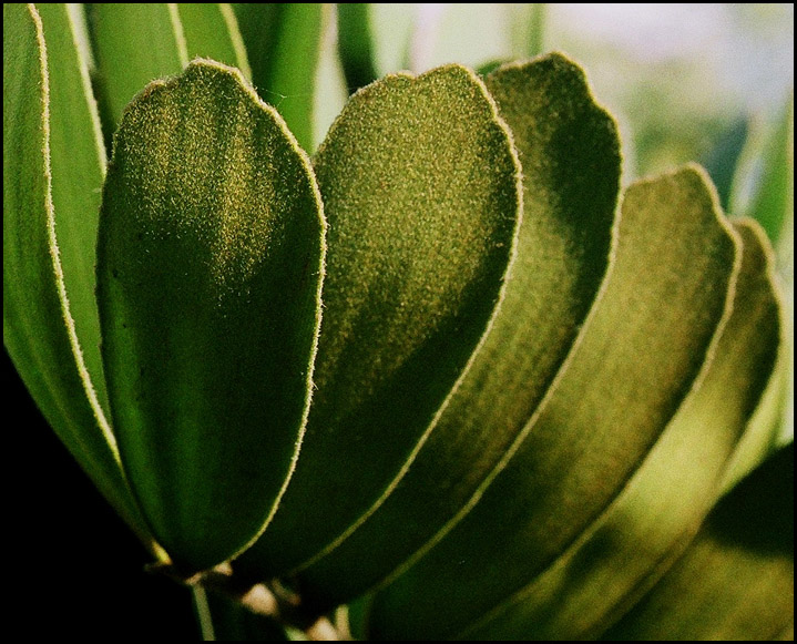 "photo """"Nap"" leaves. -  Листья ""с начесом""."" tags: nature, flowers"