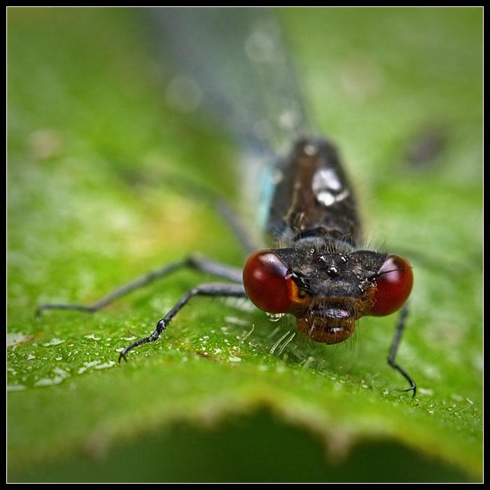 """фото """"Про красные глаза"""" метки: макро и крупный план, природа, насекомое"""