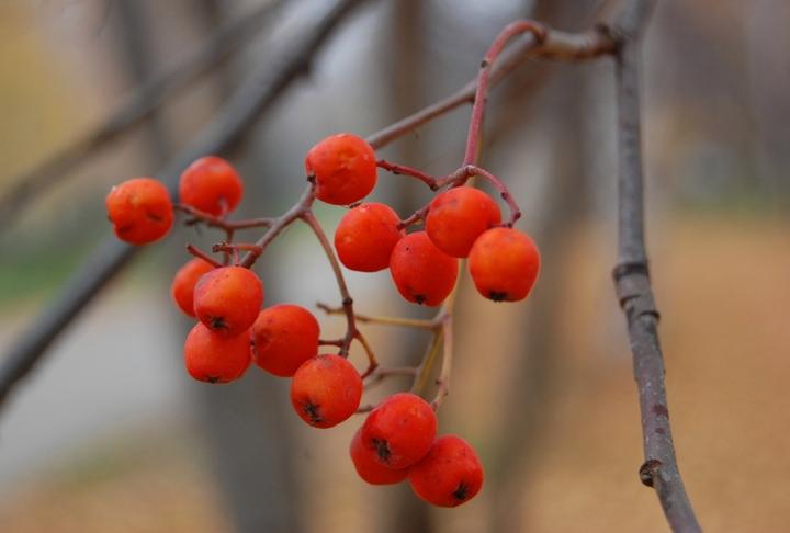 """фото """"Костер рябины красной..."""" метки: природа, пейзаж, осень, цветы"""