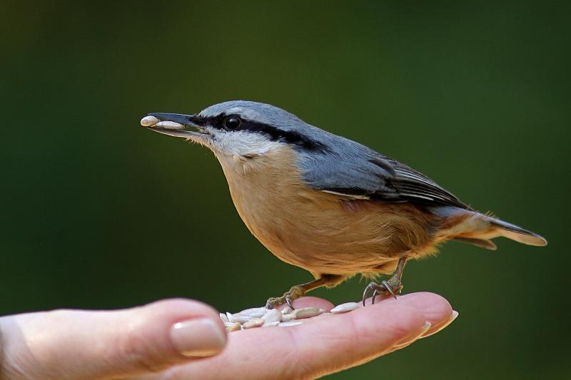 """photo """"Sitta europaea"""" tags: nature, wild animals"""