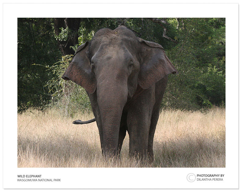 "photo ""Sri lankan Wild Elephant"" tags: nature, travel, Asia, wild animals"