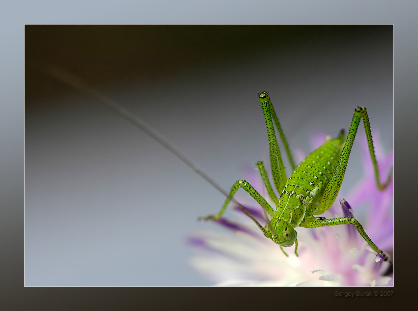 "photo ""Сuke with trotters"" tags: macro and close-up, nature, insect"