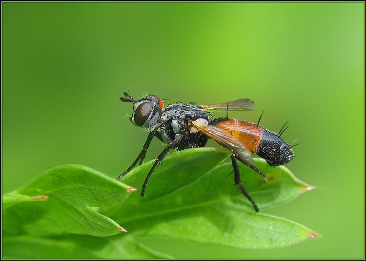 """фото """"Ершистая"""" метки: природа, макро и крупный план, насекомое"""