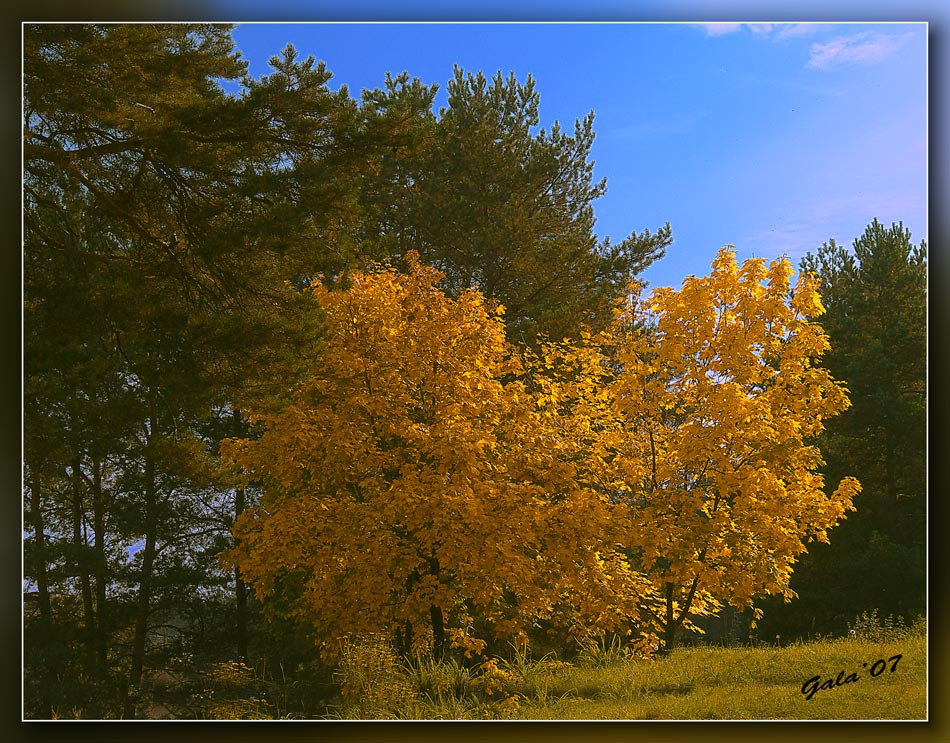 "photo ""Autumn maples"" tags: landscape, autumn, forest"