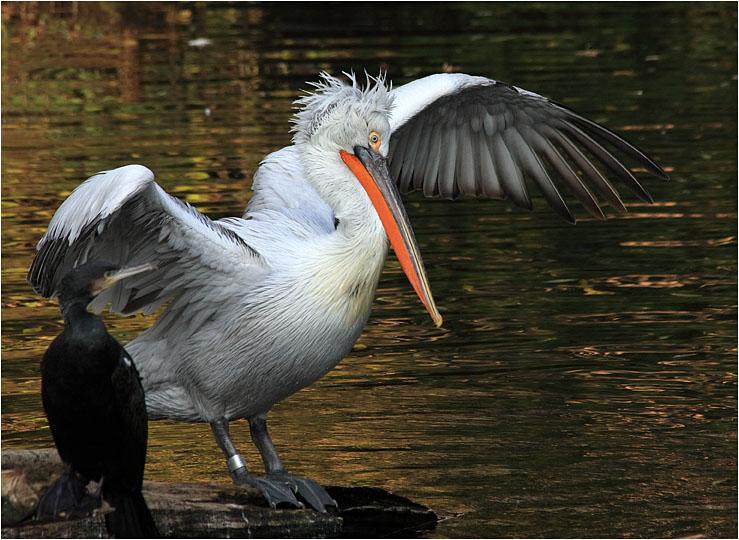 """фото """"Учись летать, баклан..."""" метки: природа, дикие животные"""