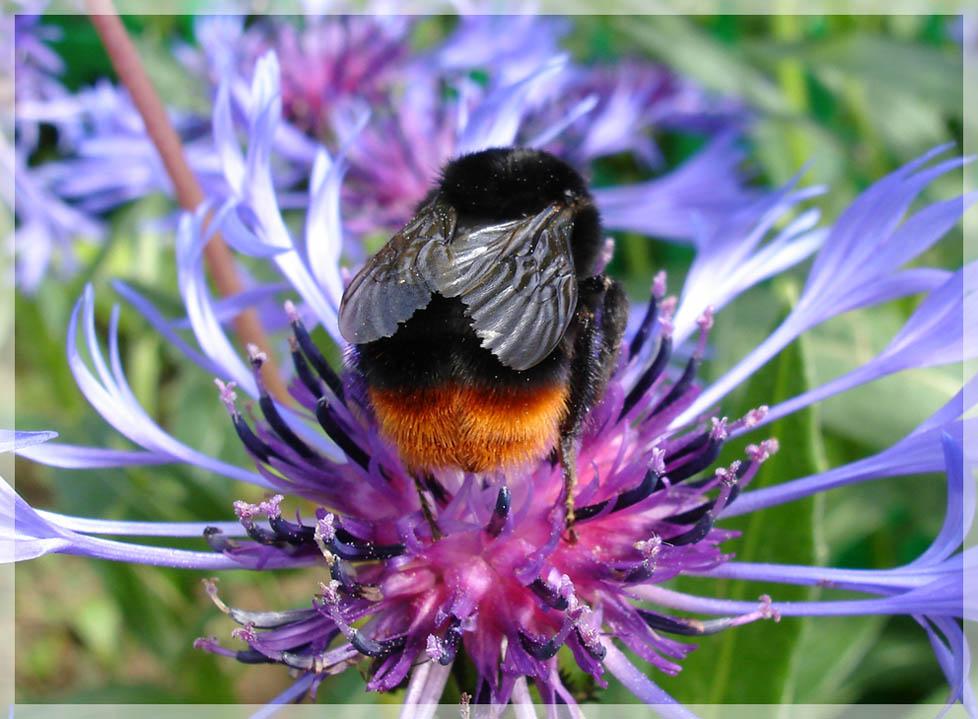 """фото """"Мохнатый шмель"""" метки: природа, макро и крупный план, насекомое"""