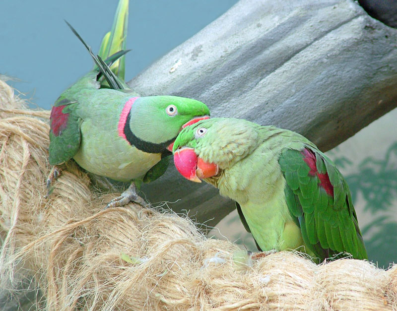 "photo ""Parrots"" tags: nature, wild animals"